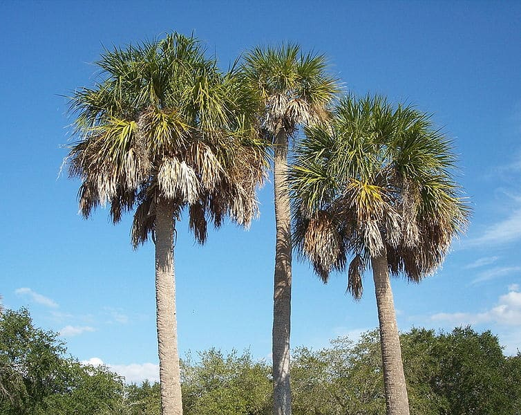 ScenicScape Landscaping, Lawn Care, and Irrigation - Featured Image for The Sabal Palm